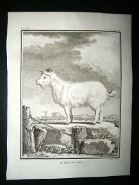 Buffon: C1770 Goat of Judah, Engraving